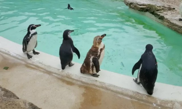 penguins ready to swim at Cotswold Wildlife park