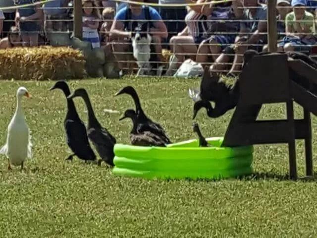 sheepdog and duck display
