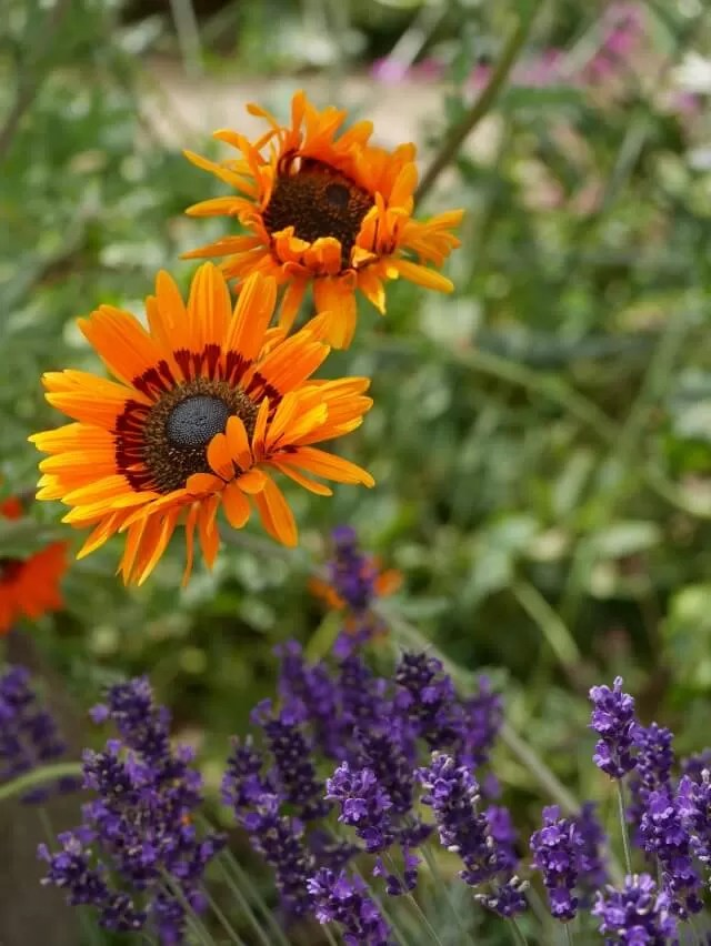 orange flowers at Hidcote Gardens
