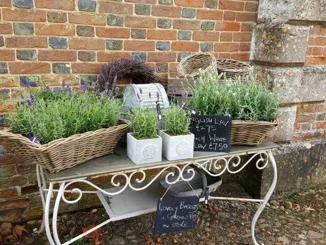 purple and white lavenders for sale