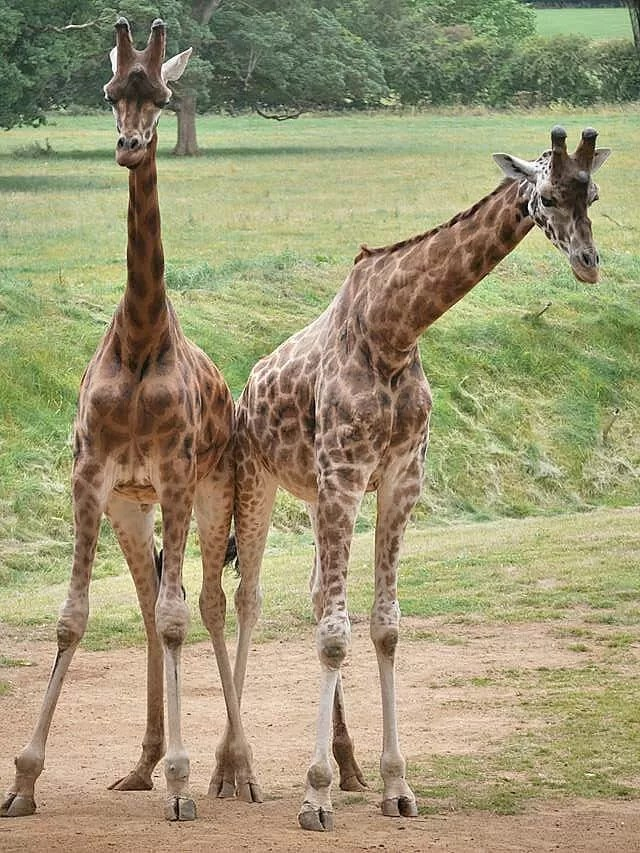 giraffes-at-cotswold-wildlife-park