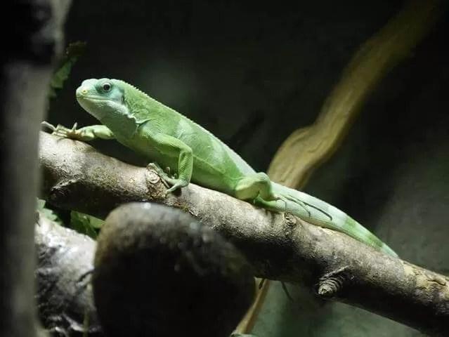 iguana-at-cotswold-wildlife-park