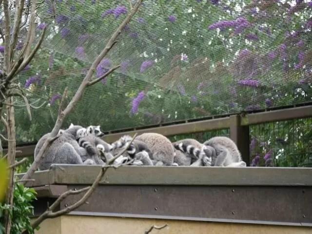 madagascar-walkway-and-lemurs-sleeping