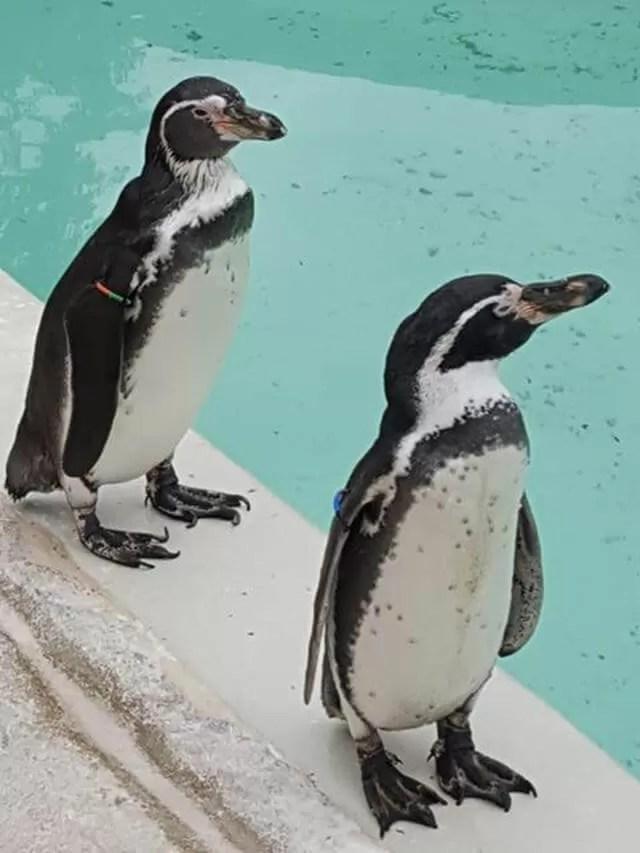 penguins-at-cotswold-wildlife-park