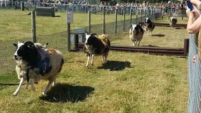 sheep-racing-at-odds-farm-park