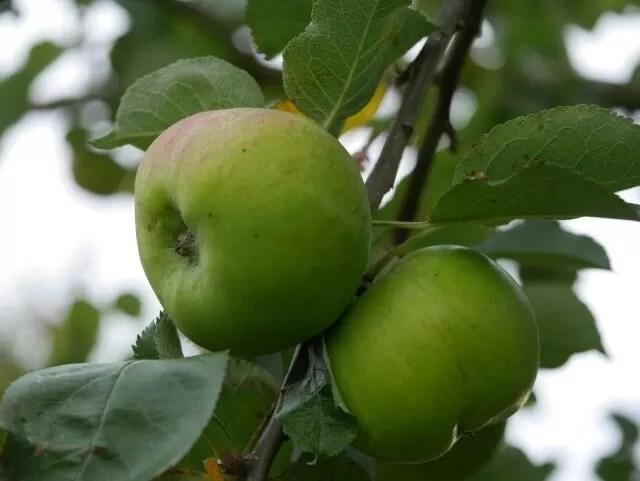 cooking apple harvest Autumn