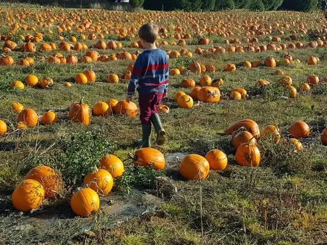 i the pumpkin fields