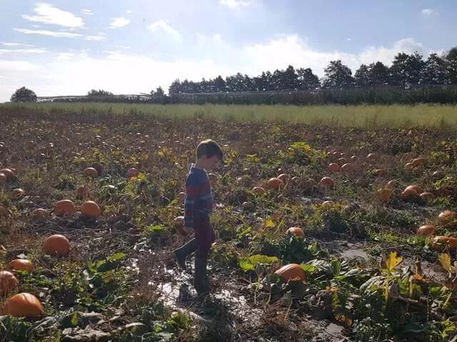 pumpkin fields at millets farm centre