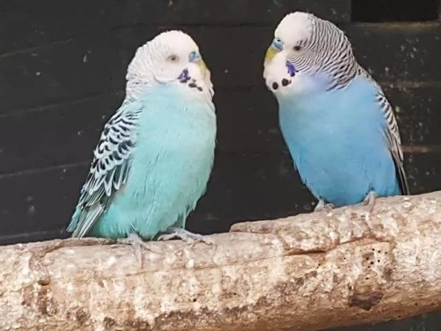 budgies-at-the-park