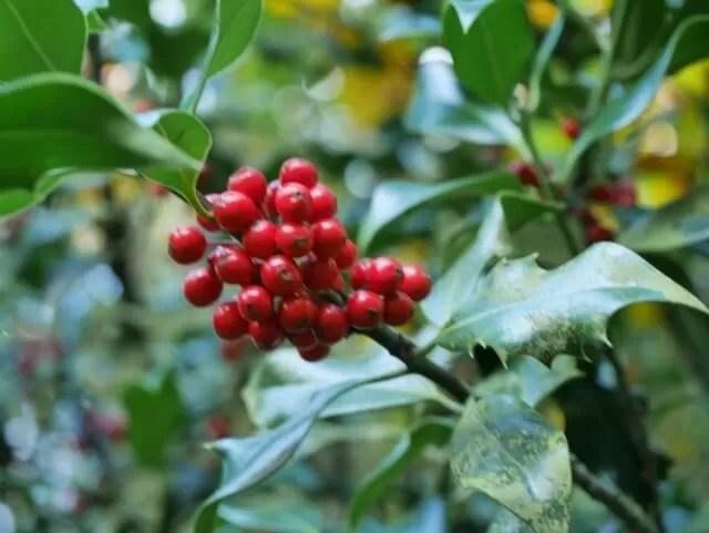 holly-berries