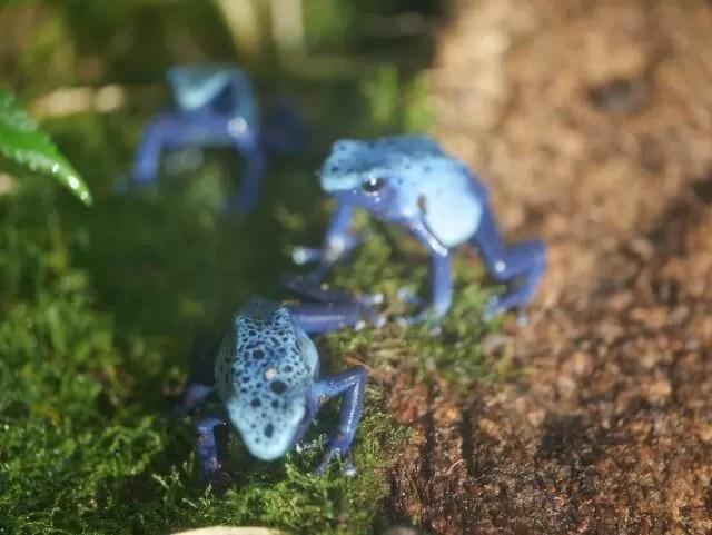 poison-blue-dart-frog