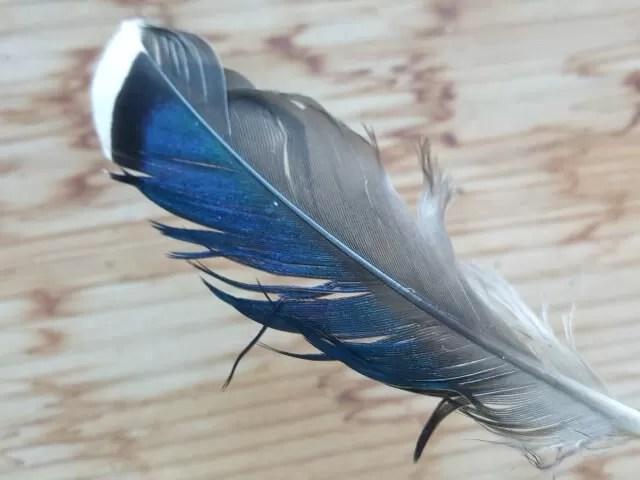mallard duck feather