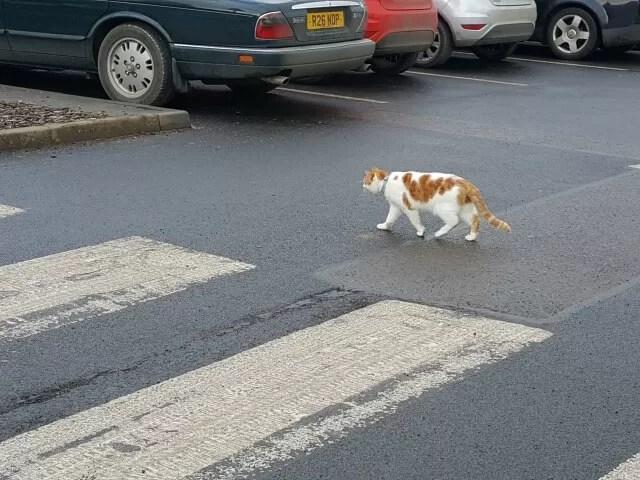 cat and zebra crossing