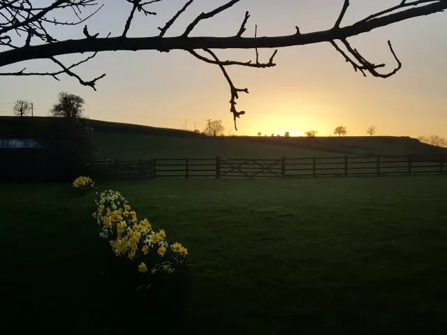 My Sunday Photo - daffodils at sunset