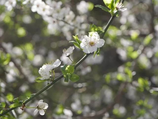 spring blosson