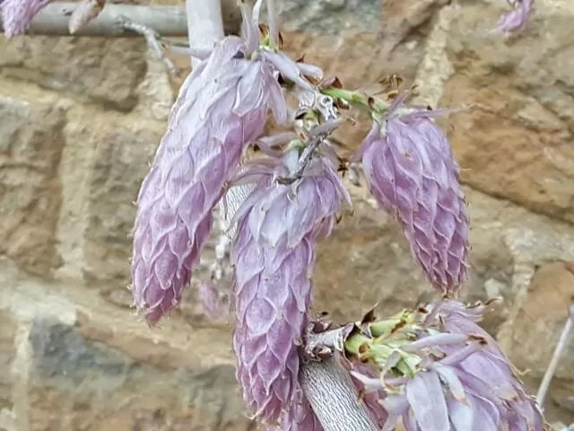 wisteria blooing