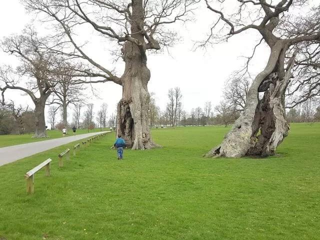 hollow trees at blenheim