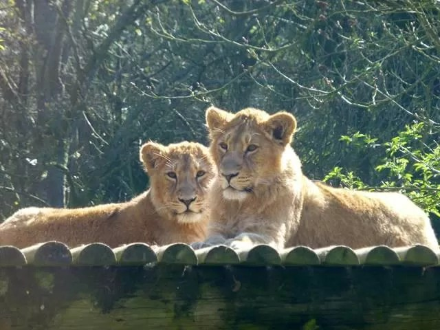 lion cubs at Cotswold wildlife park