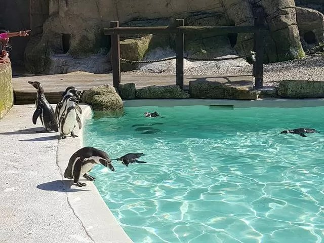 penguins at feeding time