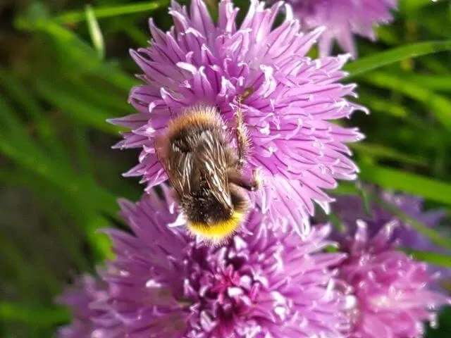 beas on wild chives in th egarden