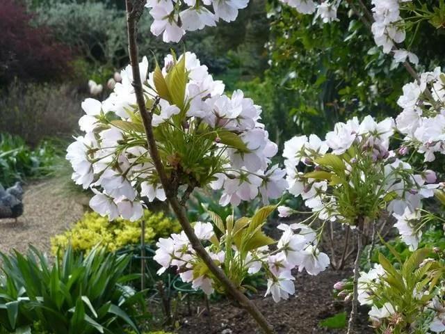 blossom at felbrigg