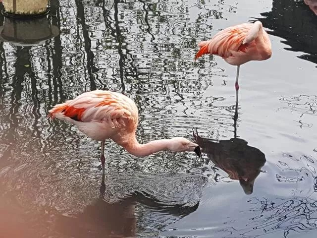 flamingoes at Amazonia zoo
