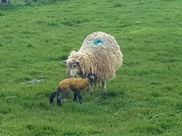 newborn lamb 10 minutes old