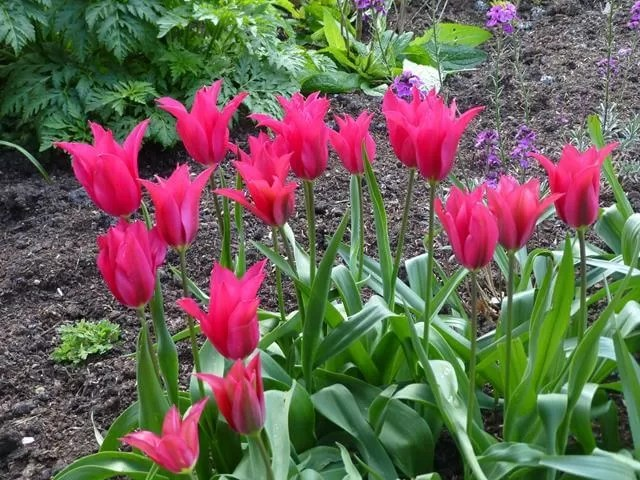 tulips in walled garden at felbrigg