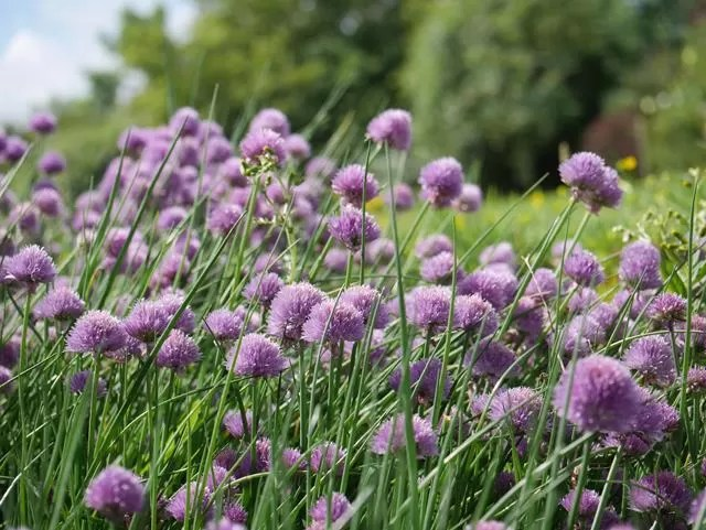 wild chives taking over the garden