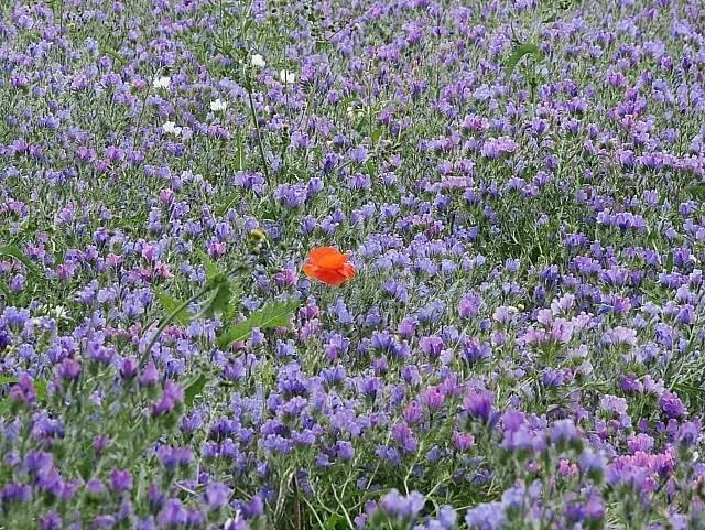 My Sunday Photo - flax and poppy
