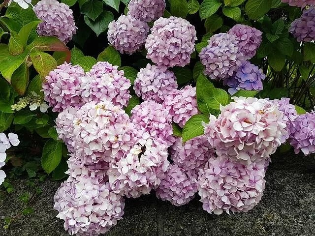 hydrangeas at mumbles