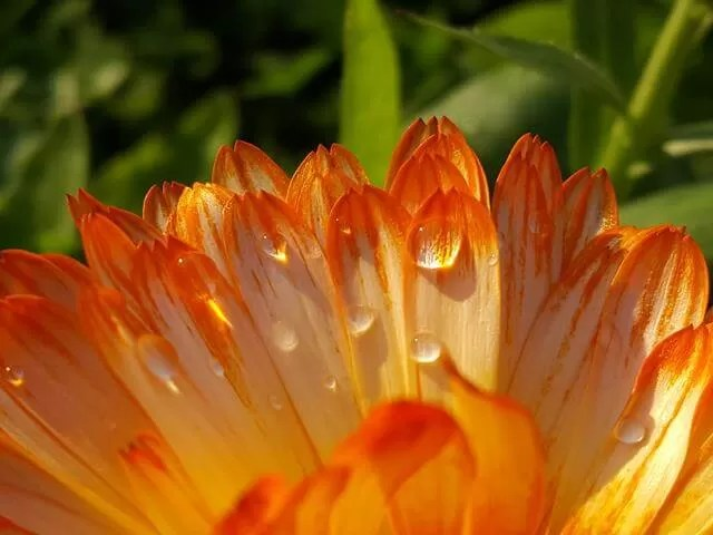 raindrops on orange calendula
