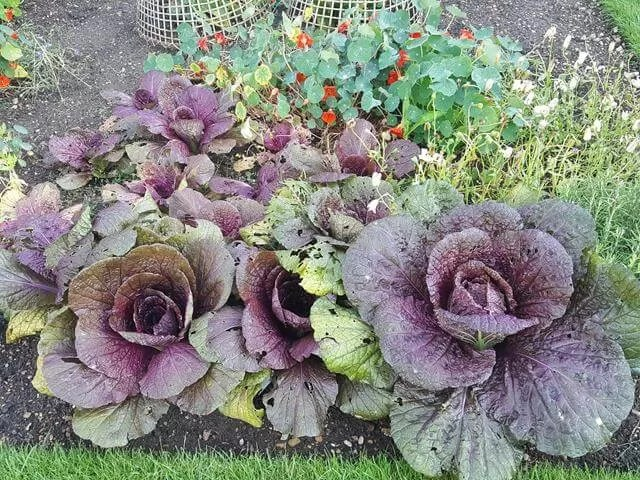 cabbages growing in botanic gardens