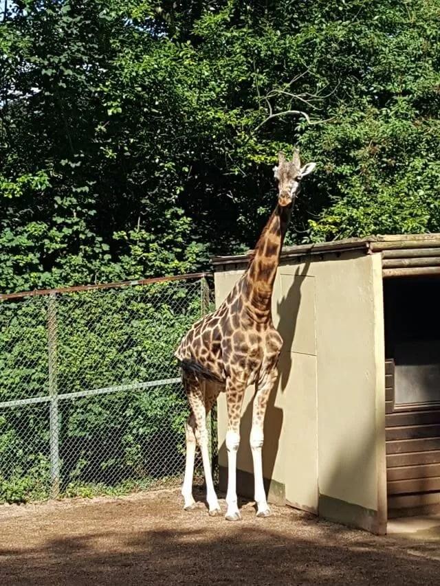 giraffe at dudley zoo