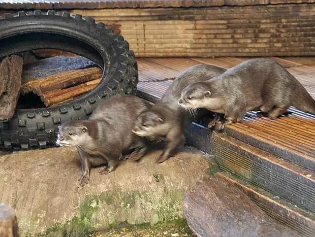 otters at blue reef aquarium