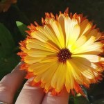 My Sunday Photo – calendula