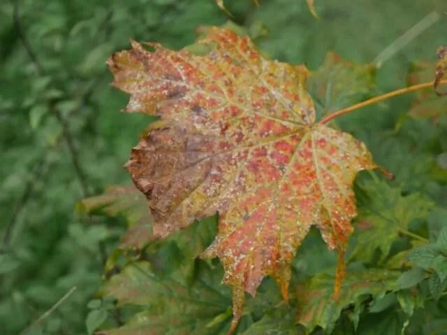mottled autumn leaf