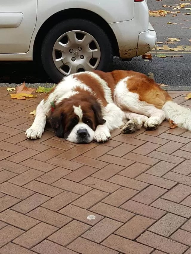 snoozing st bernard dog