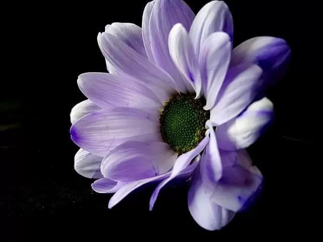 MY Sunday Photo - purple chrysanthemum
