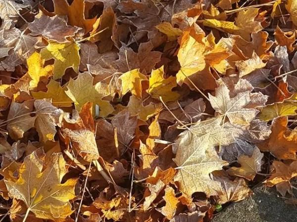dappled light on frost autumn leaves