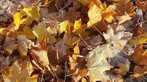 My Sunday Photo – frosty dappled leaves