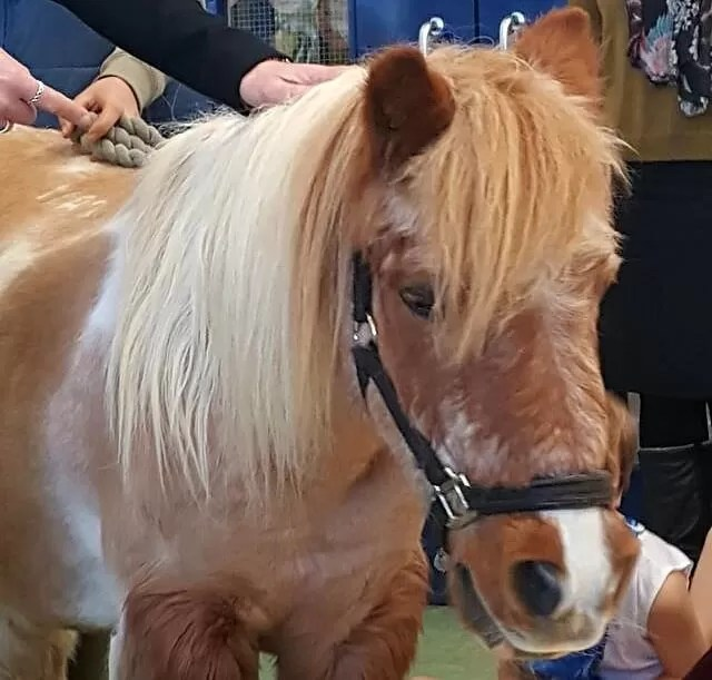 shetland pony in the nativity