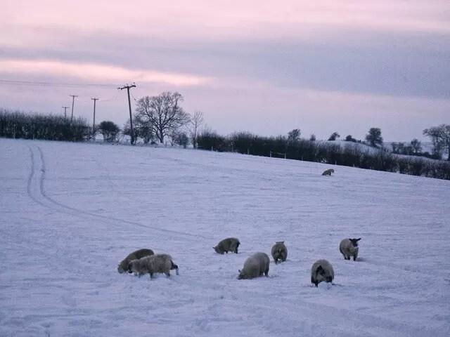 My Sunday Photo - sheep in sunset field