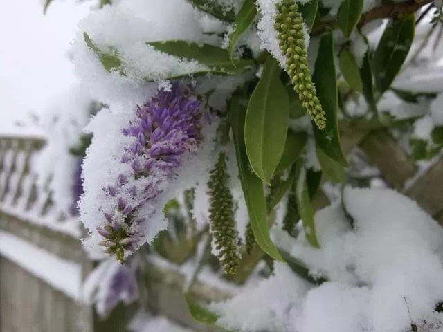 buddleia in snow