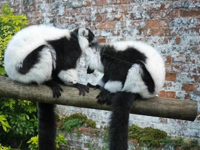 2 lemurs at marwell