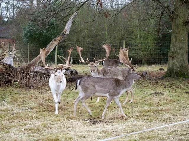 Charlecote park deer