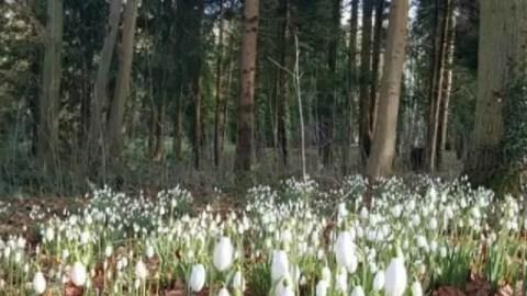 Snowdrop trail walk at Evenley Wood Garden