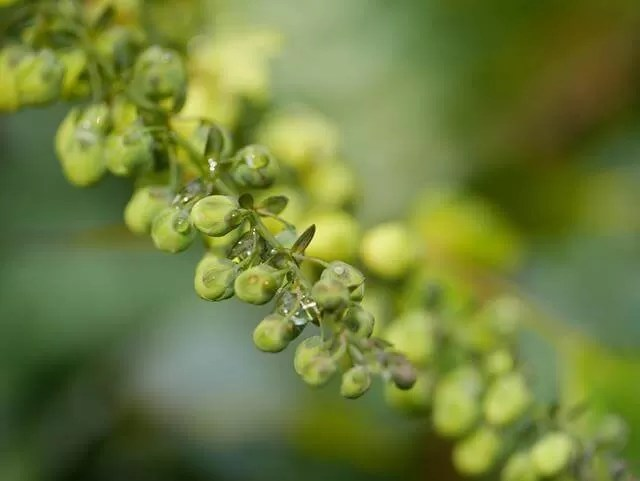 green buds with water drops