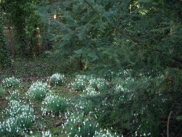 groups of snowdrops on the ground
