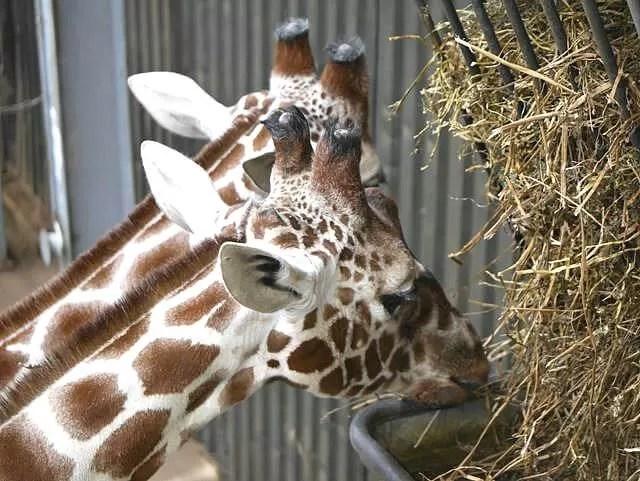 2 giraffes eating